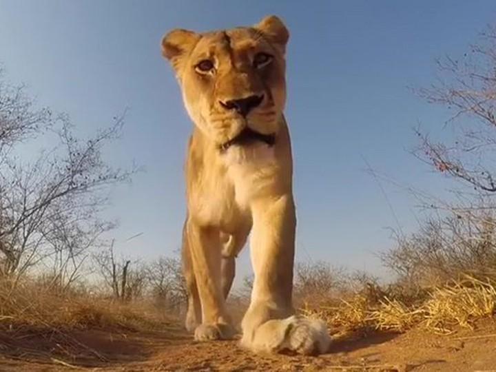 ВЮАР лев украл уоператора GoPro исам снял про себя фильм ВИДЕО
