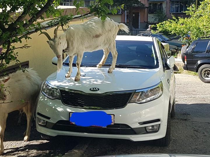 Козлы атакуют сочинцев ФОТО