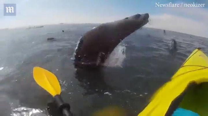 Тюлени так обрадовались встрече сбайдарочниками, что один изних прыгнул влодку кчеловеку