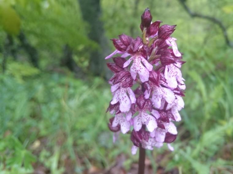 ВКрымских горах зацвела дикая орхидея