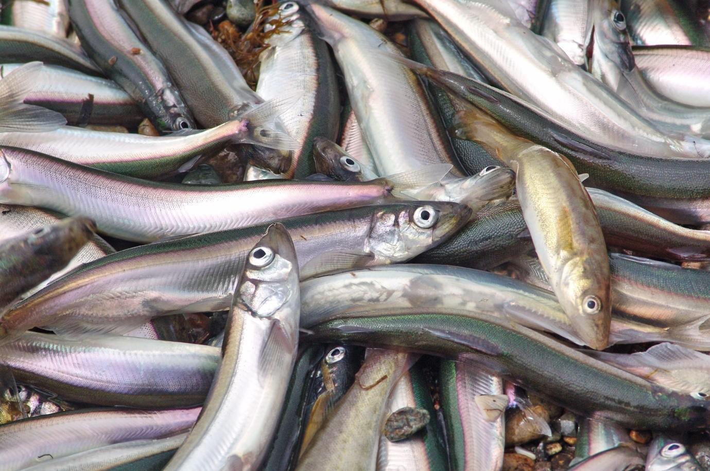 500 тонн рыбы спаразитами забраковали наСахалине