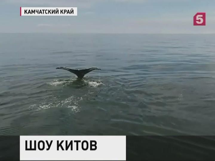 Кберегам Камчатки приплыли краснокнижные киты. Уникальные кадры изучают биологи