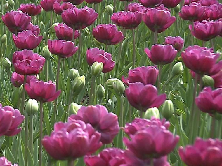 КФестивалю тюльпанов вПетербурге высадили цветы 120 сортов