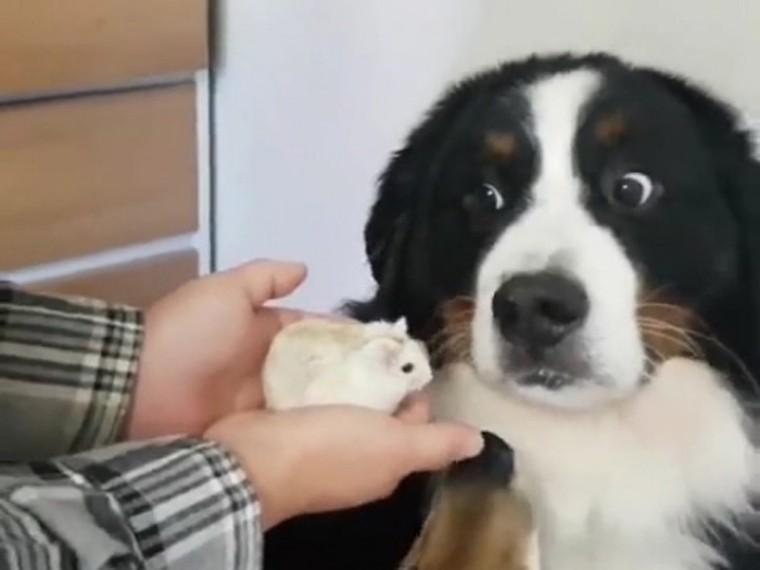 Домашний пес отказался обнюхать хомяка ивызвал понимание упользователей сети
