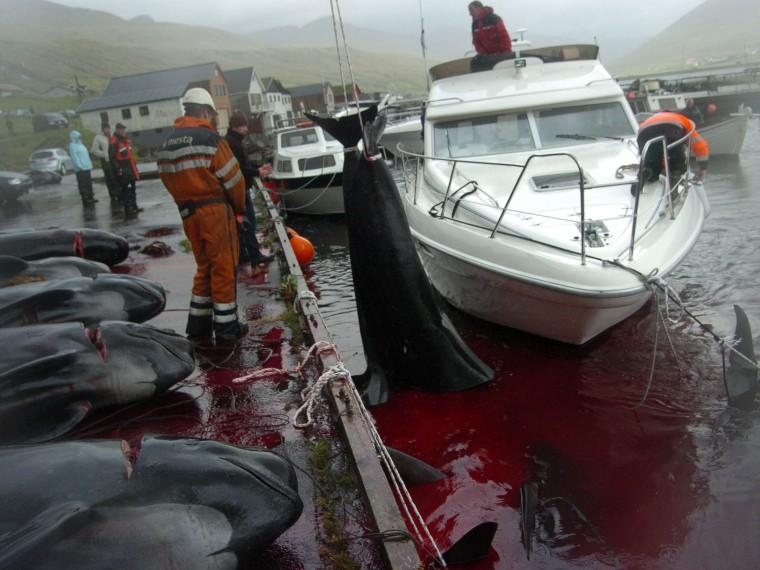 НаФарерских островах начали массовый забой китов