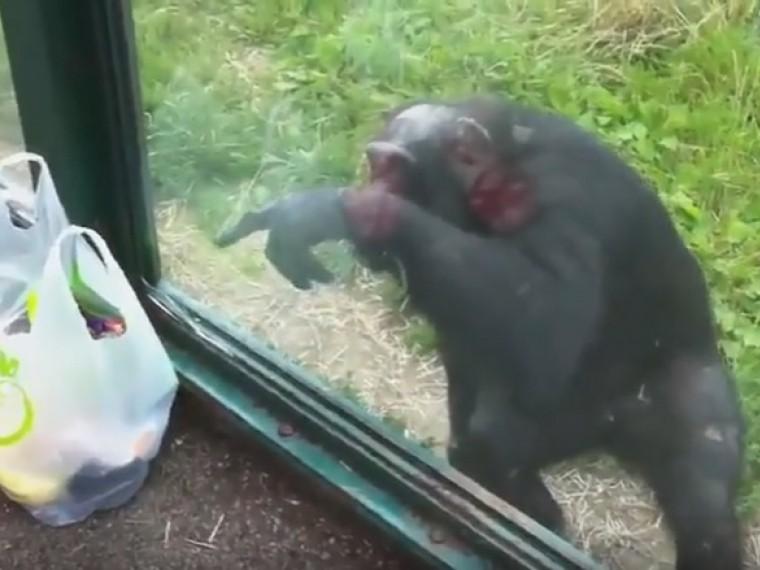 крайне умный шимпанзе покоряет сердца посетителей зоопарка