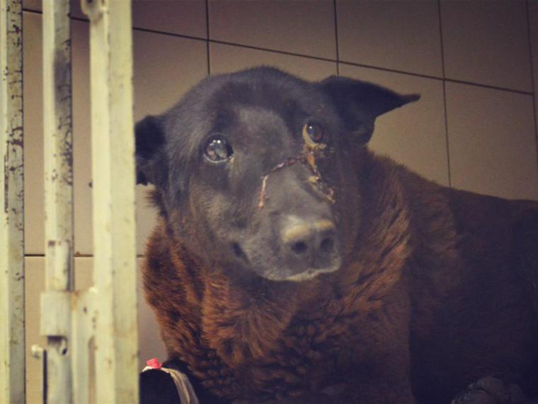 петербургские ветеринары спасают расстрелянного бездомного пса