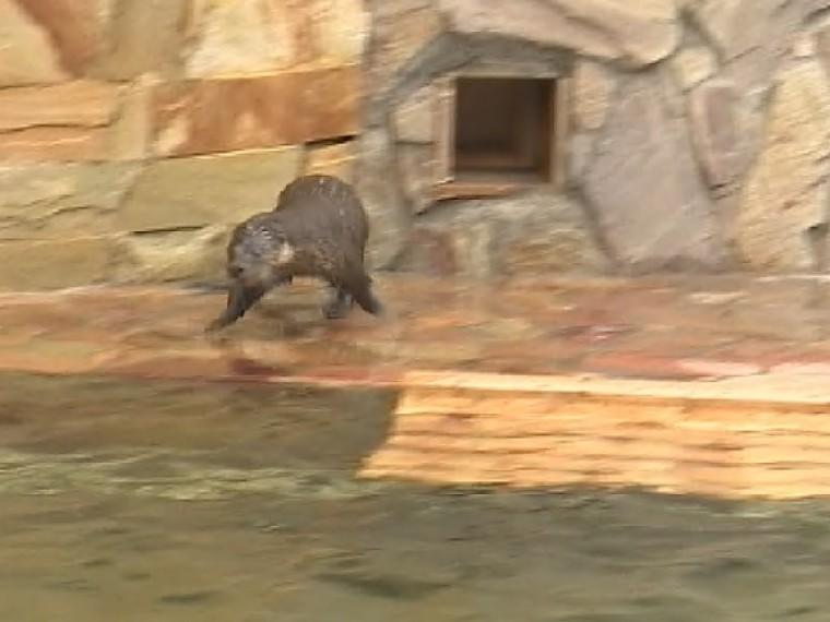 торжественное открытие вольера выдры прямая трансляция ленинградского зоопарка