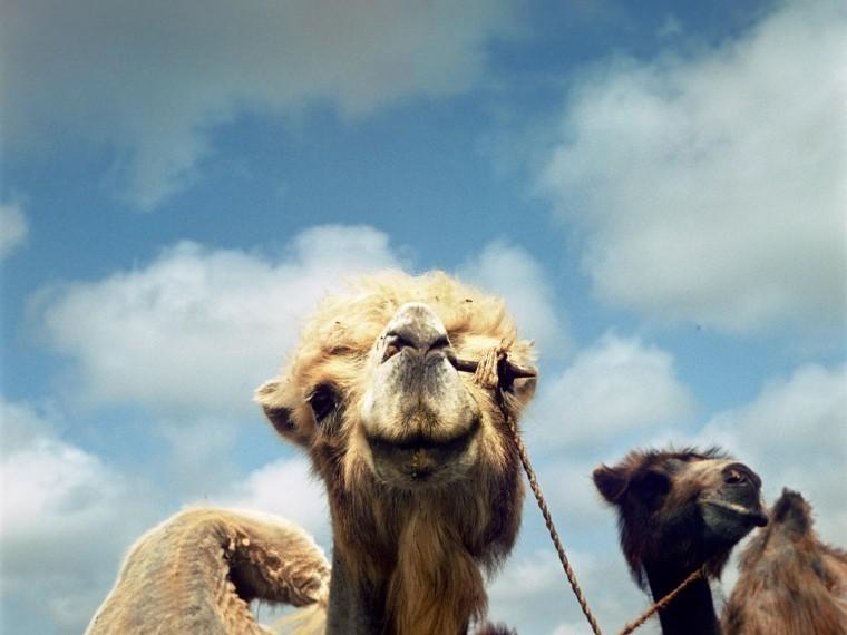 ВПодмосковье верблюд оторвал руку своему хозяину
