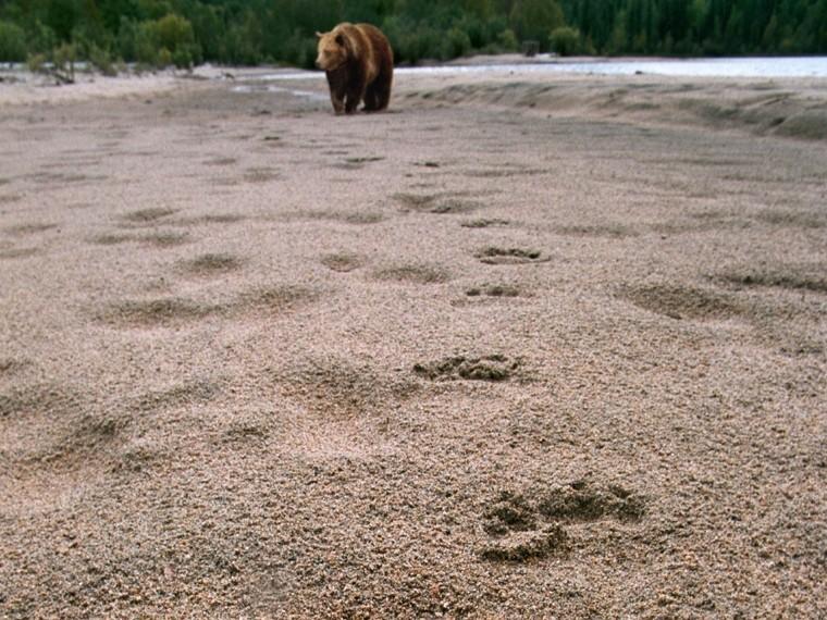 Обглоданное медведем-людоедом тело мужчины нашли наЯмале