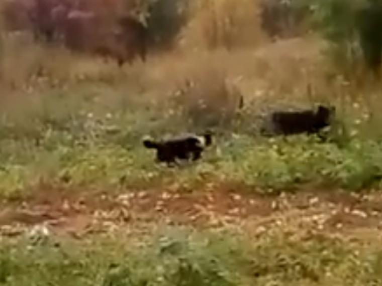 Копавший чужую картошку медвежонок попал навидео наСахалине