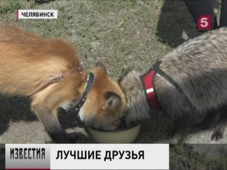Дружба диких зверей ихаски изЧелябинска восхитила горожан