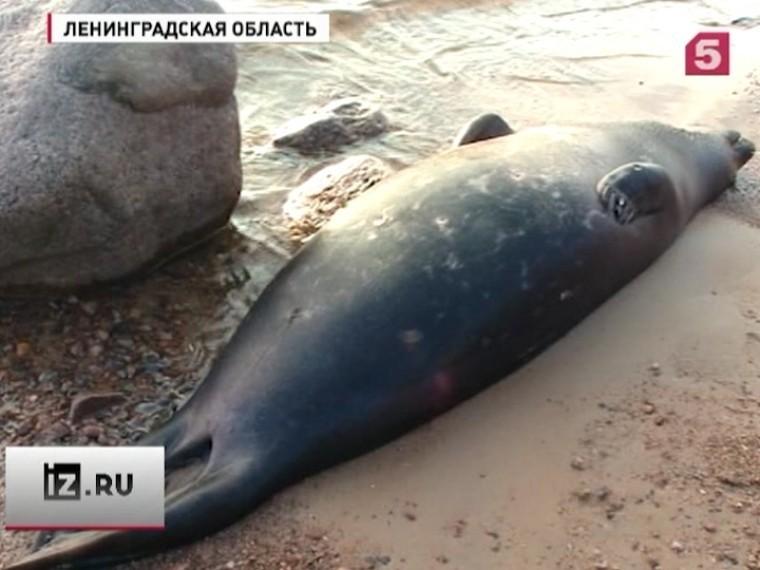 ВЛенинградской области ищут живодеров— убийц тюленей