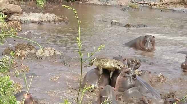 ВЮжной Африке сняли навидео схватку крокодила состадом бегемотов