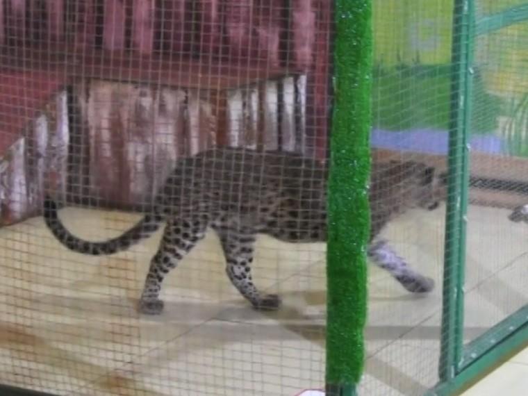 директор саратовского контактного зоопарка леопард покусал детей суд
