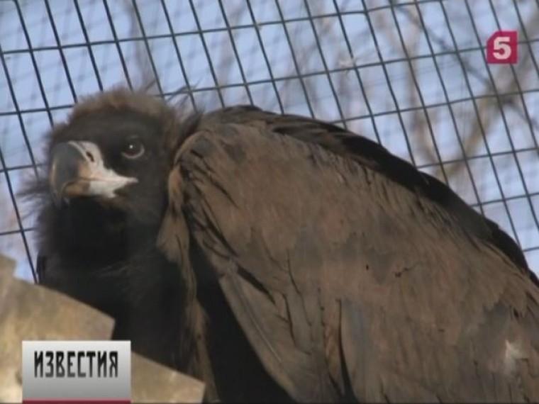 черного грифа спасли ветеринары зоопарка хабаровске