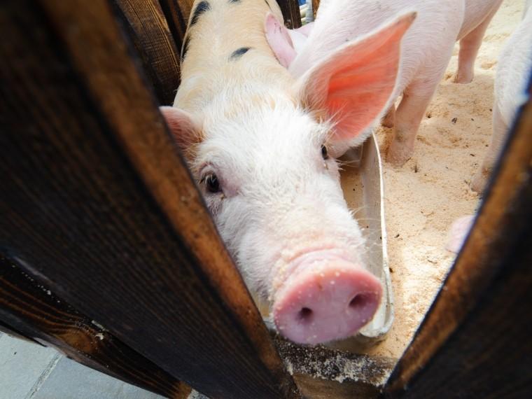 ВТюменской области убьют 16 тысяч свиней из-за вспышки африканской чумы
