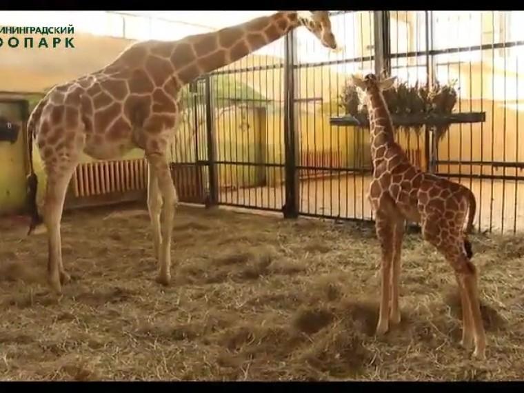 сотрудники калининградского зоопарка показали новорожденного жирафа