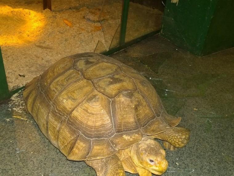 пара влюбленных черепах устроила романтичный побег зоопарка