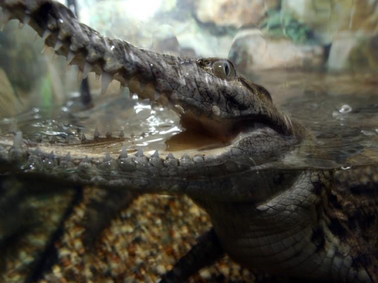 ВПетергофе задержан владелец крокодила, обитавшего вподвале жилого дома