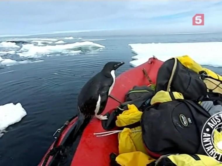 Предприимчивый или наглый?Пингвин устал отодиночества вАнтарктике ипопробовал сбежать вАвстралию