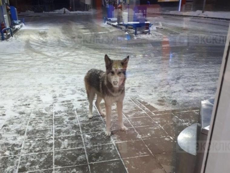 Пятый канал публикует очередные кадры соголодавшим волком наулицах Петербурга
