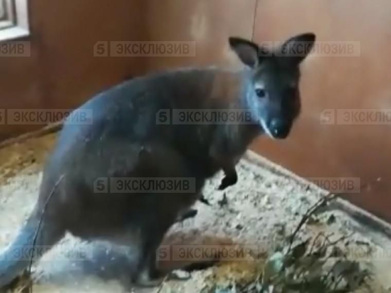 милого новорожденного кенгуренка сняли видео сотрудники ярославского зоопарка