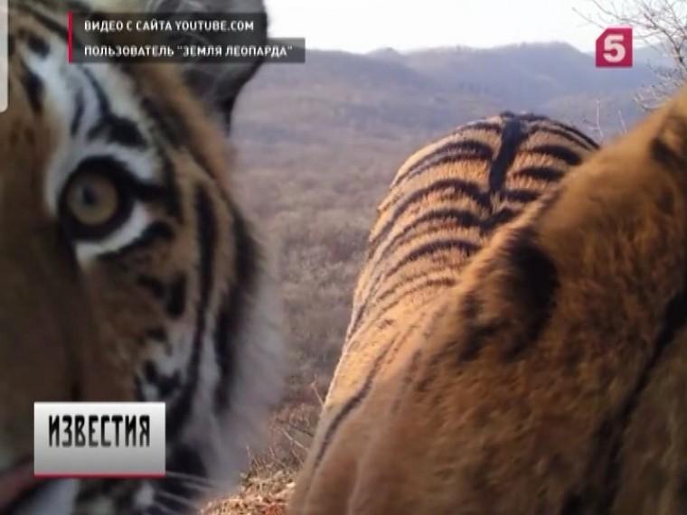 Хлебосол-леопард Валера накормил тигров вПриморье ипопал навидео