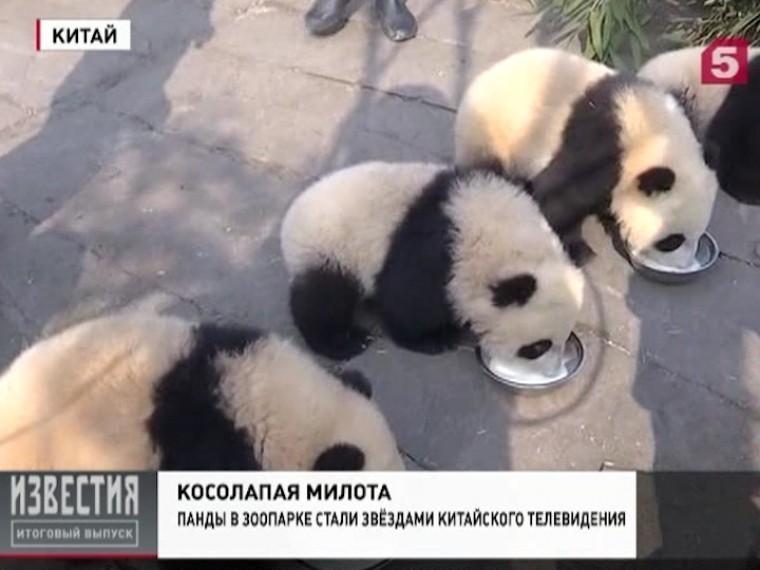 Смотрители китайского зоопарка опубликовали видео сигривыми пандами