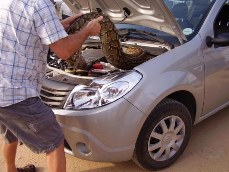 Шокированный петербуржец обнаружил вновенькой BMW мертвого питона