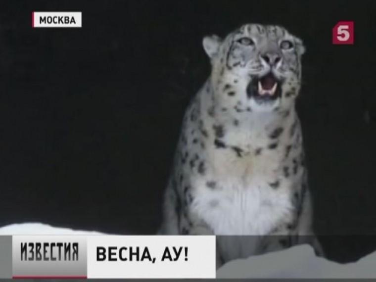 снежный барс московского зоопарка позвал весну