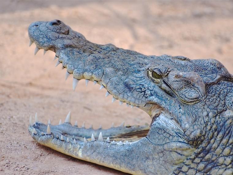чиновники лимпопо похвалили отсутствие протестов крокодила-людоеда