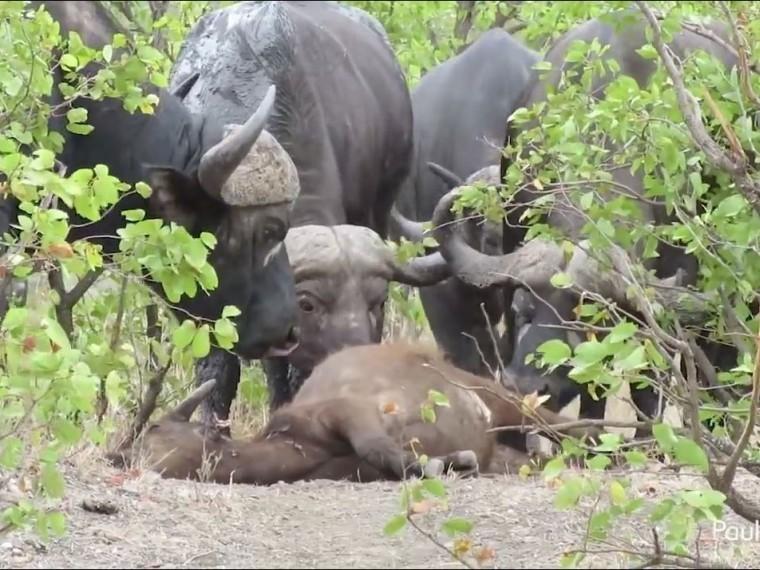 обезумевшая буйволица сразилась львами оплакать убитого детеныша