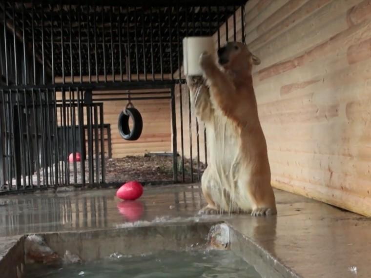 белая медведица ленинградского зоопарка совместила купание игрой баскетбол