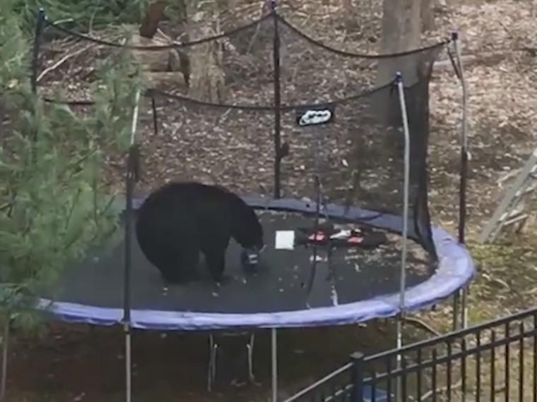 сша дикий медведь порезвился детском батуте видео