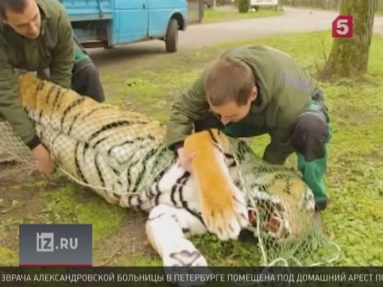 сотрудники калининградского зоопарка ловили сбежавшего амурского тигра