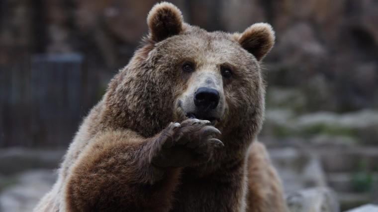 ВСША медведь залез вмашину исъел чужойбутерброд— видео