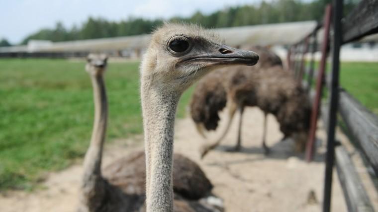 женщина сняла разъяренный страус напал сотрудника зоопарка пензе