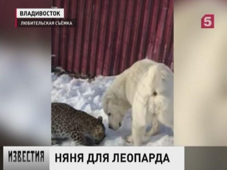 Взоопарке Владивостока собака опекает осиротевшего детеныша леопарда