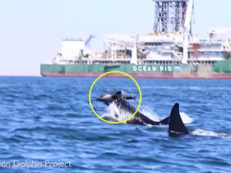 Косатки растерзали дельфина наглазах учёных
