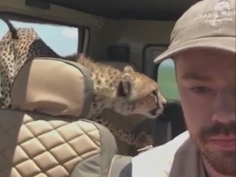 Запрыгнувший вмашину гепард перепугал любителя сафари